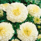 HOBBY, Květiny letničky – Aksamitník vzpřímený Kilimanjaro White, 9527