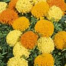 HOBBY, Květiny letničky – Aksamitník vzpřímený Pollux, 9528