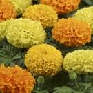 HOBBY, Květiny letničky – Aksamitník vzpřímený Taishan F1, 9529