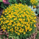 HOBBY, Květiny letničky – Aksamitník drobnokvětý žlutý, 9535