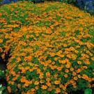 HOBBY, Květiny letničky – Aksamitník drobnokvětý oranžový, 9536