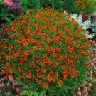 HOBBY, Květiny letničky – Aksamitník drobnokvětý červený, 9537
