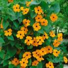 HOBBY, Květiny letničky – Tunbergie (Černooká Zuzana) oranžová sokem, 9545