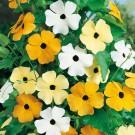HOBBY, Květiny letničky – Tunbergie (Černooká Zuzana) směs sokem, 9547