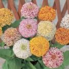 HOBBY, Květiny letničky – Ostálka lepá Pepermint Sticks, 9572