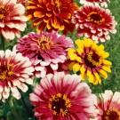 HOBBY, Květiny letničky – Ostálka lepá Caroussel, 9573