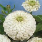 HOBBY, Květiny letničky – Ostálka lepá Nina, 9574