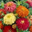 HOBBY, Květiny letničky – Ostálka lepá kaktusokvětá, 9576