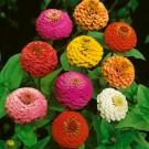 HOBBY, Květiny letničky – Ostálka lepá Double Liliput, 9577