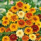 HOBBY, Květiny letničky – Ostálka haageova směs, 9579