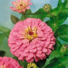 HOBBY, Květiny letničky – Ostálka lepá Luminosa, 9583