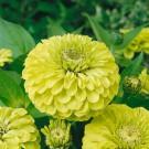 HOBBY, Květiny letničky – Ostálka lepá Envy, 9587