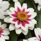 HOBBY, Květiny letničky – Ostálka Zahara Starlight Rose, 9591