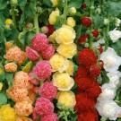 HOBBY, Květiny trvalky – Proskurník lékařský (topolovka) směs, 9601