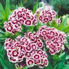 HOBBY, Květiny trvalky – Hvozdík bradatý Holborn Glory, 9614