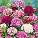HOBBY, Květiny trvalky – Hvozdík bradatý směs, 9615