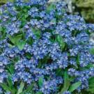 HOBBY, Květiny trvalky – Pomněnka modrá, 9640