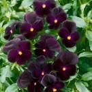 HOBBY, Květiny trvalky – Maceška zahradní velkokvětá Clear Crystals, 9662