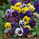 HOBBY, Květiny trvalky – Maceška zahradní velkokvětá Frilly F1, 9663