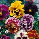 HOBBY, Květiny trvalky – Maceška zahradní velkokvětá Rococo směs, 9664