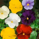 HOBBY, Květiny trvalky – Maceška zahradní velkokvětá směs bez oka, 9666