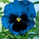 HOBBY, Květiny trvalky – Maceška zahradní velkokvětá modrá, 9667