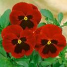 HOBBY, Květiny trvalky – Maceška zahradní velkokvětá červená, 9668