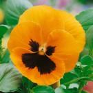 HOBBY, Květiny trvalky – Maceška zahradní velkokvětá oranžová, 9670