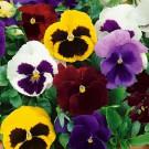 HOBBY, Květiny trvalky – Maceška zahradní velkokvětá XXL, 9681