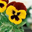 HOBBY, Květiny trvalky – Maceška zahradní velkokvětá Mistral S1 žluto červená, 9683