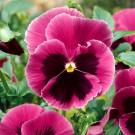 HOBBY, Květiny trvalky – Maceška zahradní velkokvětá Mistral S1 růžová sokem, 9684