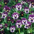 HOBBY, Květiny trvalky – Maceška zahradní velkokvětá Glacier Ice Violet White, 9686