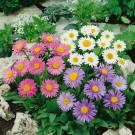 HOBBY, Květiny trvalky – Hvězdnice alpská směs barev, 9740