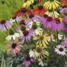 HOBBY, Květiny trvalky – Třapatka nachová Paradiso, 9799