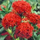 HOBBY, Květiny trvalky – Kohoutek chalcedonský červený, 9848