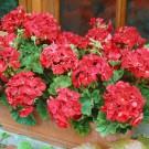 HOBBY, Květiny trvalky – Muškát páskatý červený, 9860