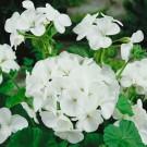 HOBBY, Květiny trvalky – Muškát páskatý bílý, 9863