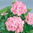 HOBBY, Květiny trvalky – Muškát páskatý růžový, 9864