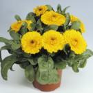 HOBBY, Květiny letničky – Měsíček lékařský Gitana yellow, 9096