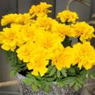 HOBBY, Květiny letničky – Aksamitník rozkladitý Safari yellow, 9540