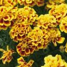HOBBY, Květiny letničky – Aksamitník rozkladitý Safari yellow fire, 9541