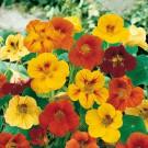 HOBBY, Květiny letničky – Lichořeřišnice větší Jedlé květy, 9550