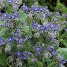 HOBBY, Květiny letničky – Brutnák lékařský, 9071