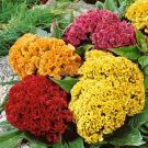 HOBBY, Květiny letničky – Nevadlec hřebenitý Směs, 9150
