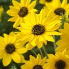 HOBBY, Květiny letničky – Slunečnice slabá Sunny Babe, 9268