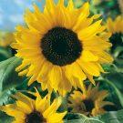 HOBBY, Květiny letničky – Slunečnice roční Sun, 9269