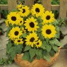 HOBBY, Květiny letničky – Slunečnice roční Ballad F1, 9272