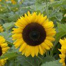 HOBBY, Květiny letničky – Slunečnice roční Mezzulah F1, 9273