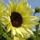 HOBBY, Květiny letničky – Slunečnice roční Buttercream F1, 9279