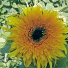 HOBBY, Květiny letničky – Slunečnice roční Baby Bear F1, 9283